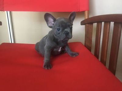 French Bulldog PUPPY FOR SALE ADN-62713 - Frenchies are Ready for their New Home