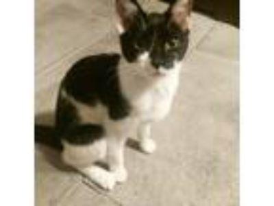 Adopt Milo a Black & White or Tuxedo American Shorthair cat in University City