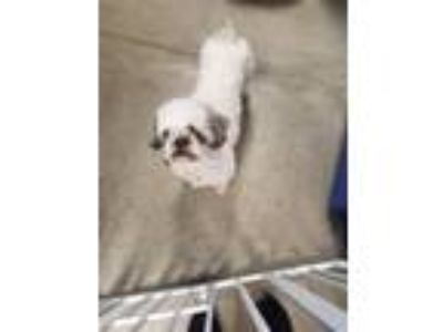 Adopt Julianna a Shih Tzu / Mixed dog in Madison, NJ (25355216)