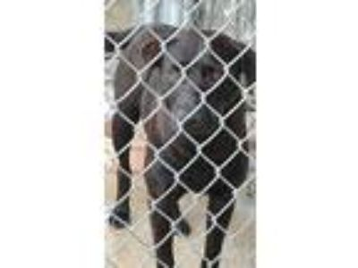 Adopt Unknow a Black Labrador Retriever / Labrador Retriever / Mixed dog in
