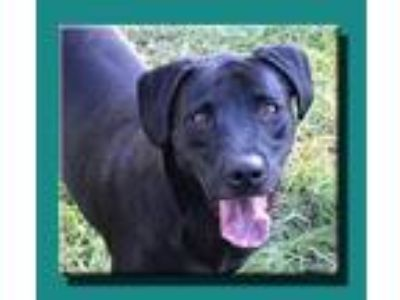 Adopt Rookie *MEET ME AT AA!* a Black Labrador Retriever / Mixed dog in