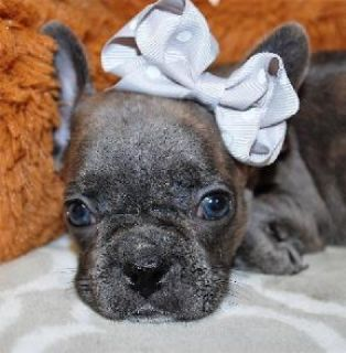 Beautiful female Frenchton puppy