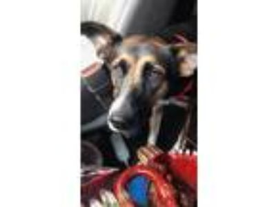 Adopt Molly J a Black - with Tan, Yellow or Fawn German Shepherd Dog / Mixed dog