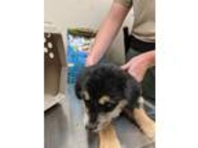 Adopt Buttercup a German Shepherd Dog / Mixed dog in Mocksville, NC (25631333)