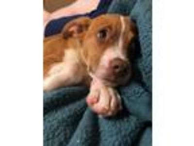 Adopt T'eo - Application Pending a Mixed Breed