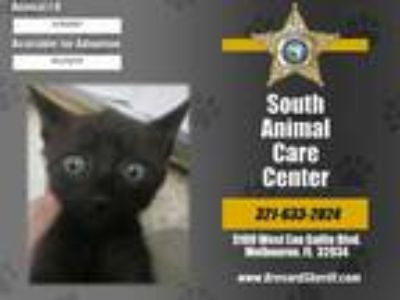 Adopt ARIES a All Black Domestic Shorthair / Mixed (short coat) cat in