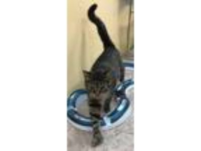 Adopt Princess Rola a Domestic Short Hair