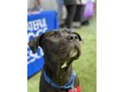 Adopt Feather a Black - with White Labrador Retriever / American Pit Bull