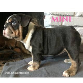 Bulldog PUPPY FOR SALE ADN-62935 - Lilac and Blue Tri English Bulldogs