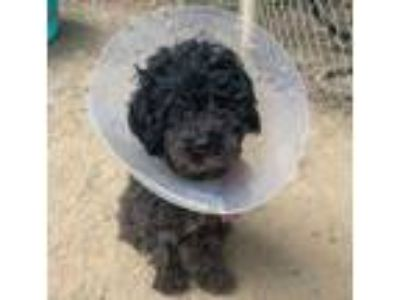 Adopt Spandy Andy a Poodle, Mixed Breed