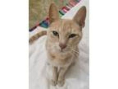 Adopt Sissy a Orange or Red Tabby Domestic Shorthair (short coat) cat in