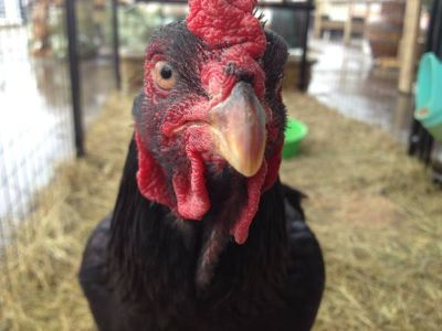 SILKIE ROOSTERS RHODE ISLAND RED Roos  Ready to go