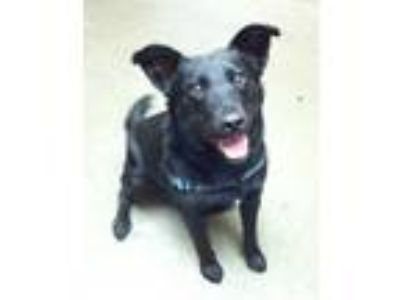 Adopt Katie a Black Labrador Retriever / Australian Cattle Dog / Mixed dog in