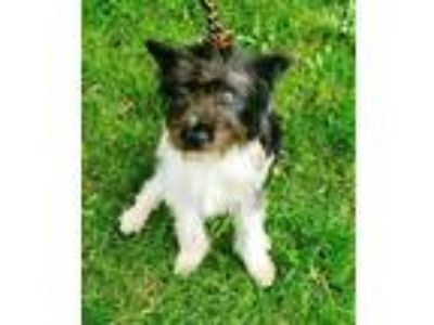 Adopt ADOPTION PENDING Domino a Black - with White Poodle (Miniature) / Havanese
