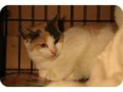 Adopt Sorbet a Calico or Dilute Calico Domestic Shorthair (short coat) cat in