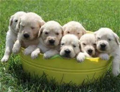 Gorgeous Red Golden Retriever Puppy's