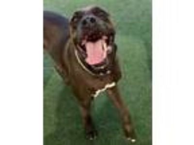 Adopt Vader a Brown/Chocolate Mixed Breed (Large) / Mixed dog in Orlando