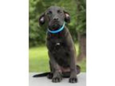 Adopt Heath a Black Labrador Retriever / Mixed dog in Waldorf, MD (25737741)