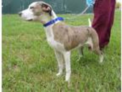 Adopt ROBBIE a White - with Gray or Silver Catahoula Leopard Dog / Mixed dog in