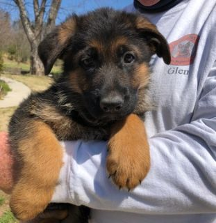 German Shepherd Dog PUPPY FOR SALE ADN-73310 - Puppies from Son of World Champion Sieger