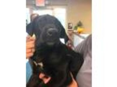 Adopt Blake a Black Labrador Retriever / Mixed dog in Gettysburg, PA (25236151)
