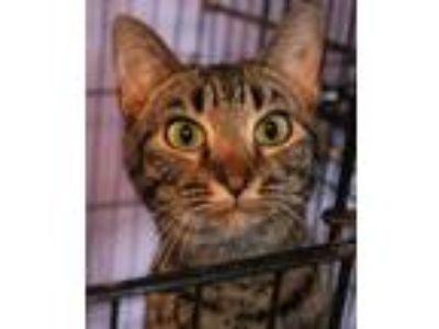 Adopt Addy a American Shorthair