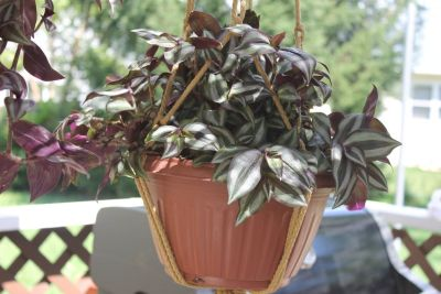 Rare wandering Jew Thick and compact with Hanger Purple/Green very healthy