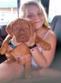Dogue De Bordeaux French Bull Mastiff Pups
