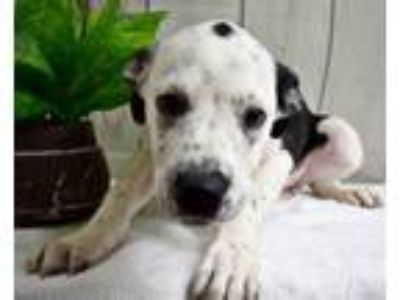 Adopt Lacie a Great Dane, Hound
