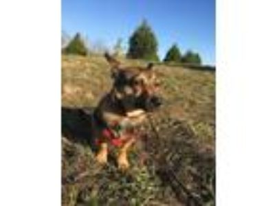 Adopt Remy a Brown/Chocolate - with Black Terrier (Unknown Type