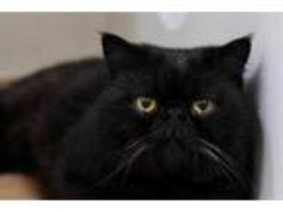 Adopt WINTER a All Black British Shorthair / Mixed (short coat) cat in Boston