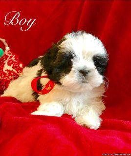 Shih Tzu X Maltese Puppies
