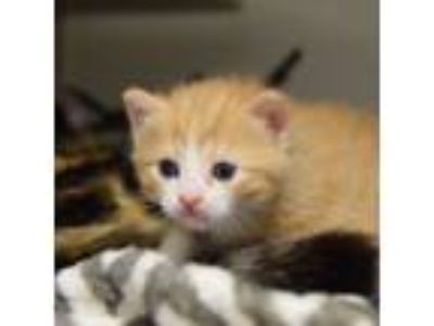 Adopt Sage a Domestic Short Hair