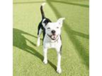 Adopt Chaplin a White - with Tan, Yellow or Fawn Boston Terrier dog in Culver