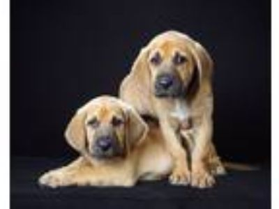Adopt Bloodhound Pups a Tan/Yellow/Fawn - with Black Bloodhound / Mixed dog in