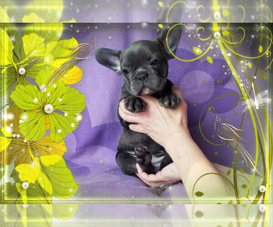French Bulldog PUPPY FOR SALE ADN-130143 - FrenchieZ PuP