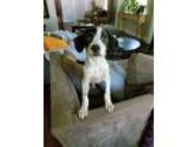 Adopt Chester a White - with Black Springer Spaniel / Spaniel (Unknown Type) /