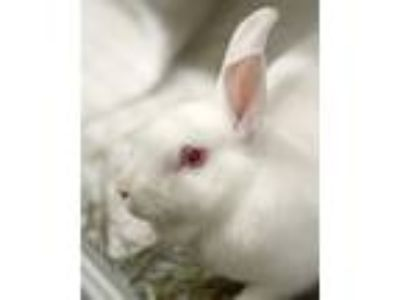 Adopt Pearl a American / Mixed rabbit in Novato, CA (25367827)