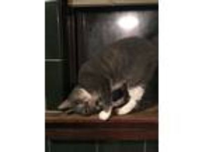 Adopt Willougby (Willie) a Gray or Blue Domestic Shorthair (short coat) cat in