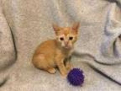 Adopt WENDY a Orange or Red (Mostly) Domestic Shorthair / Mixed (short coat) cat