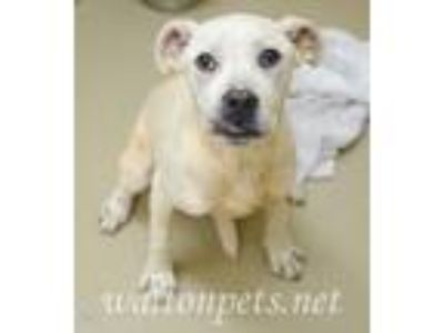 Adopt Mario a Tan/Yellow/Fawn Boxer / Labrador Retriever / Mixed dog in Monroe