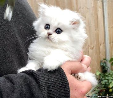 All White Persian Kitten