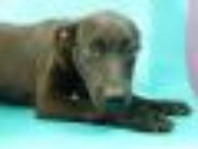 Sanya Labrador Retriever Dog