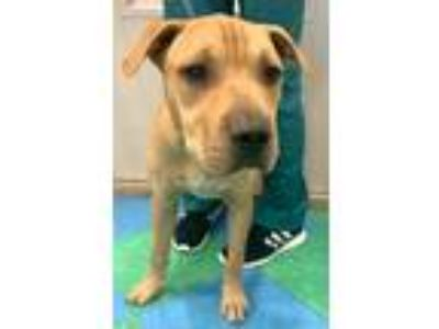 Adopt Pibbles a Tan/Yellow/Fawn Shar Pei / Mixed dog in Dallas, TX (25656747)