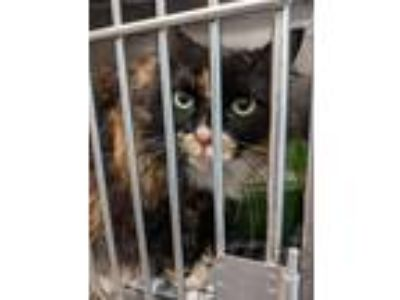 Adopt Tammy a Domestic Long Hair
