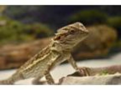 Adopt Bailey a Bearded Dragon