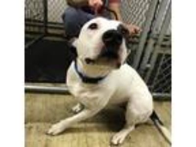 Adopt Emily a Black - with White American Pit Bull Terrier / Mixed dog in