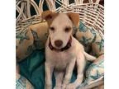 Adopt Tiffany a White - with Tan, Yellow or Fawn Terrier (Unknown Type