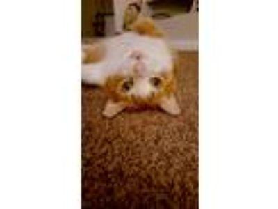 Adopt Mister a Orange or Red Tabby American Shorthair cat in Visalia