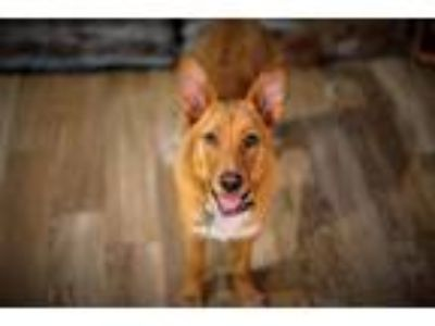 Adopt Buddy Bear a Labrador Retriever / Australian Cattle Dog / Mixed dog in